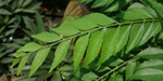 Curry leaves the body 's cooling