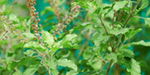 Tulsi to cure fever