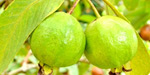 To alleviate constipation Guava