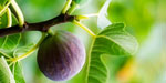 Herbal provided ancestor: Figs