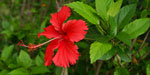 Herbal provided ancestor Hibiscus