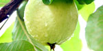 Guava will prevent the effects of age youth