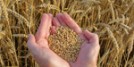 Specialty grains: wheat
