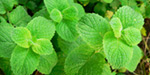 The medicinal properties of mint greens !!