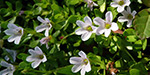 Bacopa monnieri  gives strength to the brain