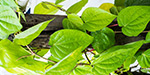 Betel controlling colds and cough
