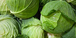 Cabbage reducing body weight