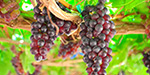 Solving the Grapes kidney problems