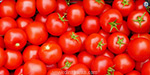 Tomatoes that reduce body weight