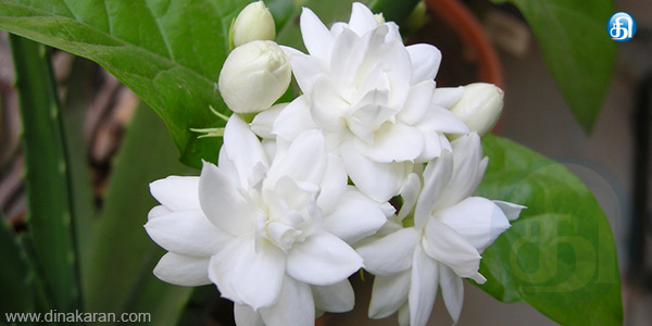 Jasmine flower to reduce stress!