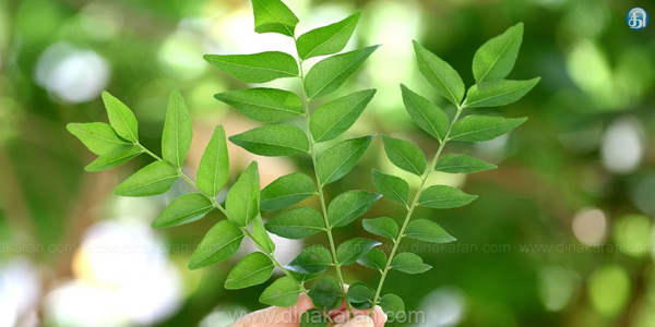 Curry leaves of migraine