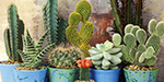 What possible benefit cactus plants at home?