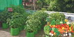 fresh terrace garden for vegetables eaten!