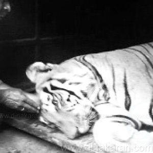 The tiger was caught in Bandipur after a 6-day search