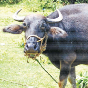 Burkur hill buffalo is recognized in the National Animal Heritage Lab