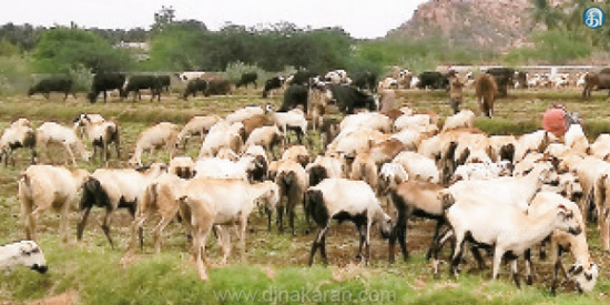 Cattle without grazing lands in the Andipatti area