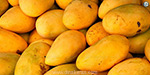 The risk of a ban on the export of mango: United Arab alarm problem