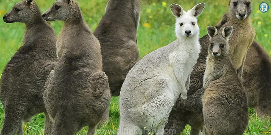 The Government of Australia advised people to eat kangaroo meat