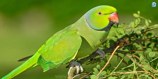 Climate change, endangered species of parrot