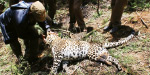 Electricity attacked in Dottedpet Forest and kills leopard