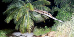 Flood in agricultural lands near Gudiyatham: Coconut trees leaned out of the heat