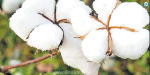 650 bags cotton Auction for Rs