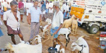 For the sake of Ramzan, sales of goat went further