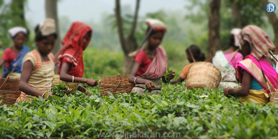 The tea plantation workers in Nilgiris district demand to raise the wages