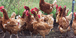 Methods to Prevent Country chicken Deaths