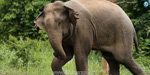 An eleven woman killed in an elephant in Nilgiris