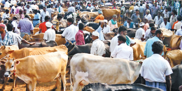 Increased feeding of cattle to the market due to lack of feeding