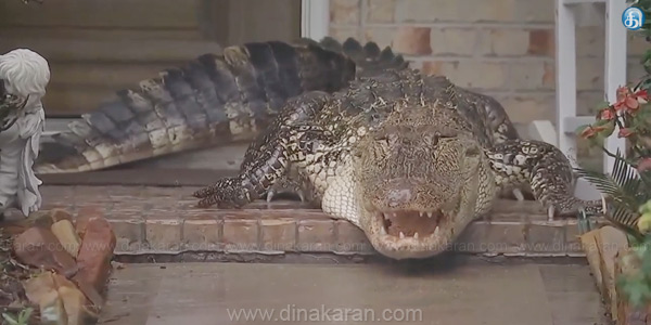 Crocodile in the United States entered the house sensation, shortness of anger, unable to catch the crocodile ciriya