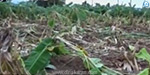 Two acres of banana trees are damaged by wild elephants near Erode