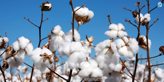 623 bags cotton auction for Rs