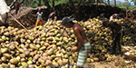 Coconut yields fall by 60% after two years