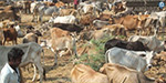 7 crores to be affected by the ban on cows cut: Pollachi traders