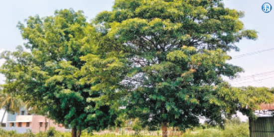 Endangered Drug Trees: Will Government Take Action?
