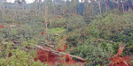 20 lakh rubber trees damaged in oak storm: 10 thousand workers job loss