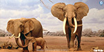 African elephants under 'imminent risk' of extinction