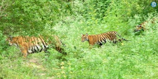 Forest Information: 55 Tigers in the Sathiyamangalam forest