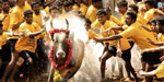 Betta's rejection rejection: No objection to Jallikattu in 2018 .... Supreme Court Action