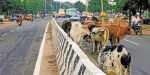 Cattle and ropes are interrupted in traffic on the roads of Nellai municipality
