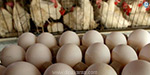 Egg prices drop in Namakkal zone: Sale to farms at Rs. 4
