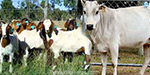Inadequate goat and livestock choice in the scheme of offering cows