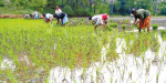 Farmers intensified in rice planting in Kilinochchi irrigation