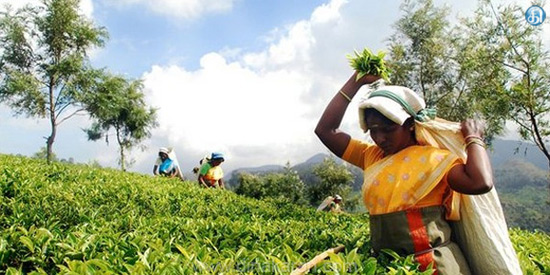 Tea auction for Rs 3.14 crore