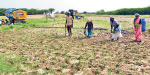 Rainfall in Kulathur region: Buy water and buy chilli cultivation: farmers suffer
