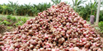 Farmers are concerned about the price of the seed onion