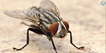 Flies Are Much More Disgusting And Disease-Ridden Than We Suspected