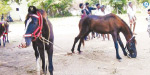 Near Pattukottai Cows, Horses Exhibition